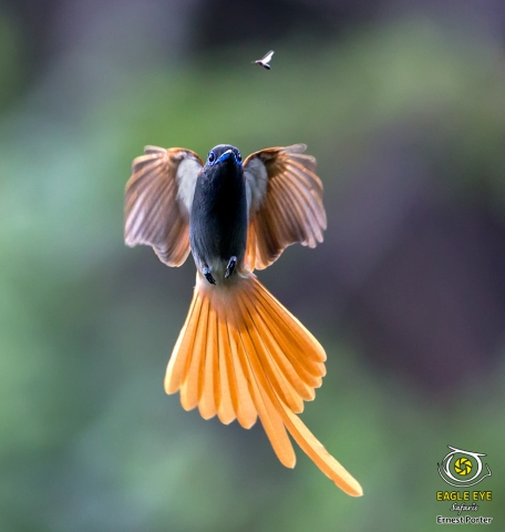On the Hunt (African Paradise Flycatcher)