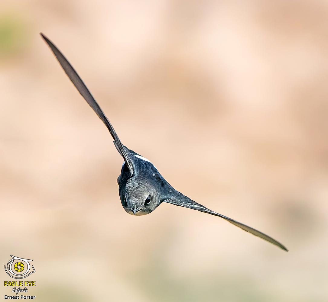 Speedy (Little Swift)