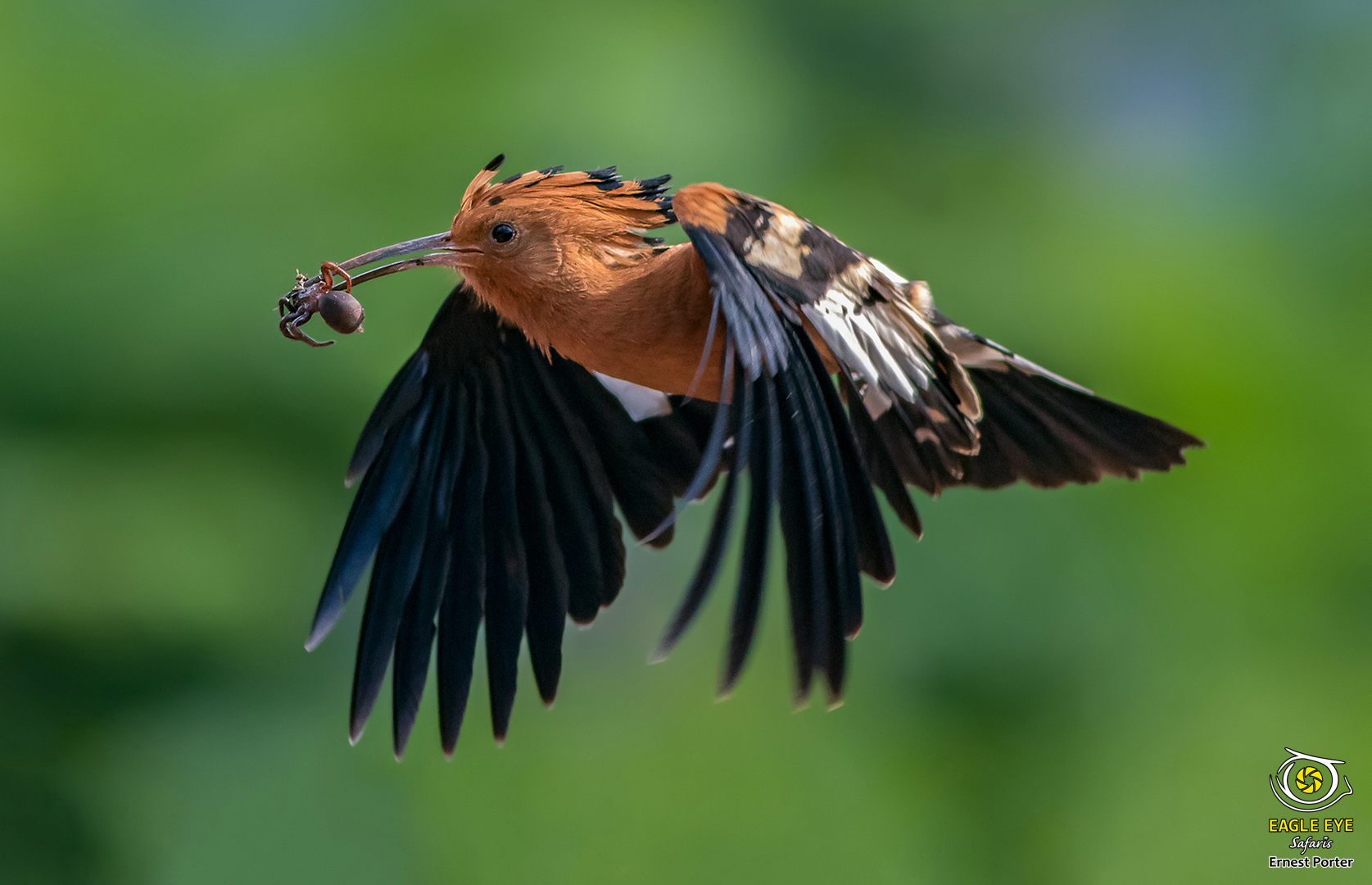 Snack time (African Hoopoe)