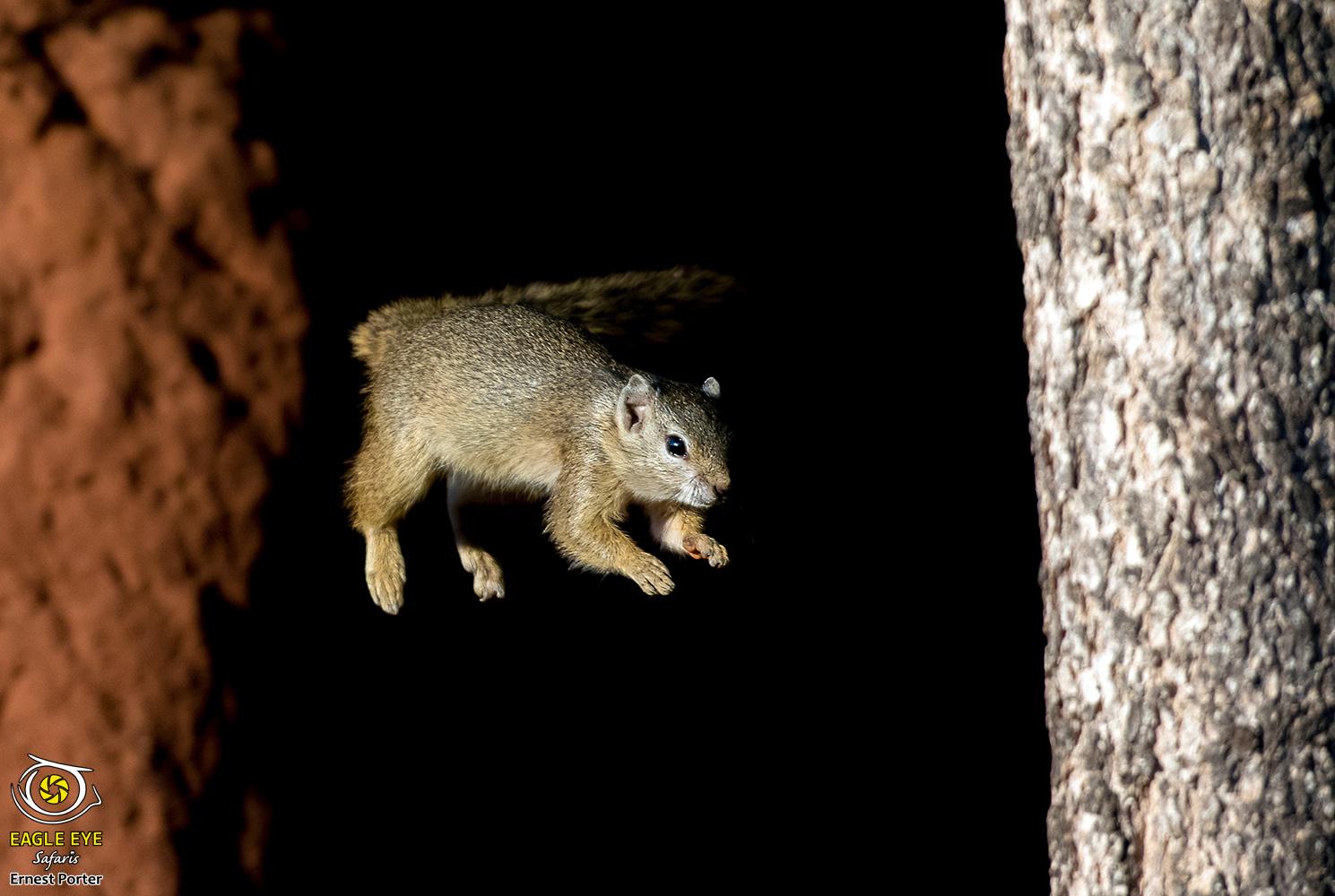 Spectacular Jump (Tree Squirrel)