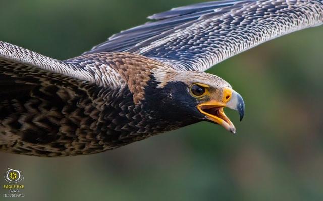 Nessi calling in flight (Verreaux's Eagle)