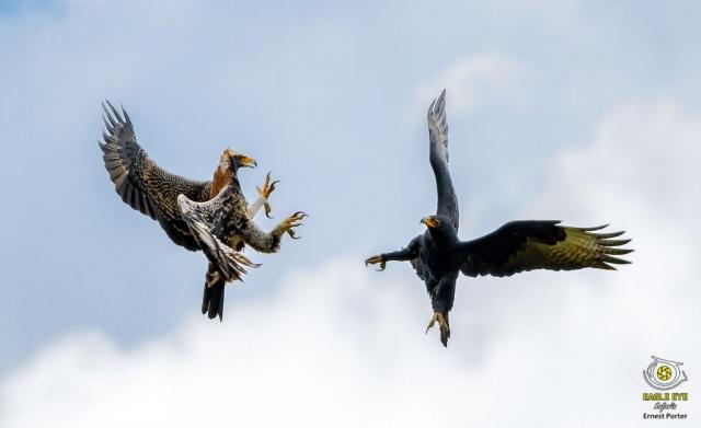 Thulane training Nessi (Verreaux's Eagle)