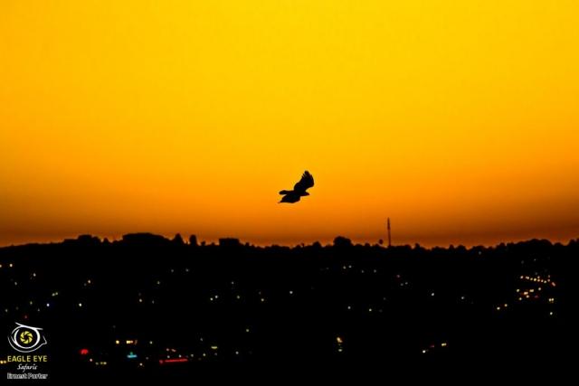 City eagle at sunset (Verreaux's Eagle)