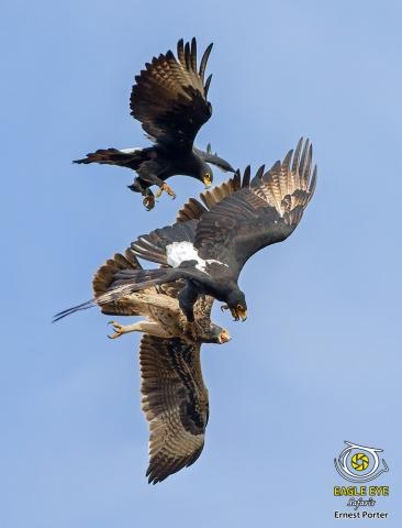 Emoyeni and Thulane training Jono (Verreaux's Eagle)