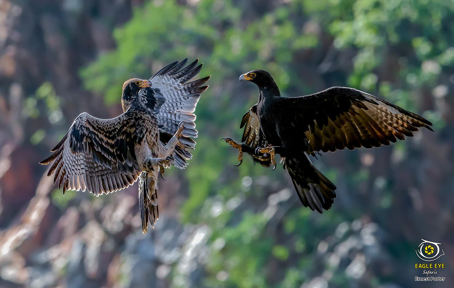 Thulane training Jono (Verreaux's Eagle)