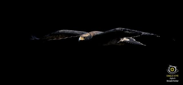 Jono on the wing (Verreaux's Eagle)