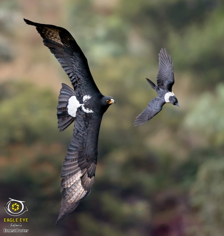 Thulane chasing a Crow (Verreaux's Eagle & Pied Crow)