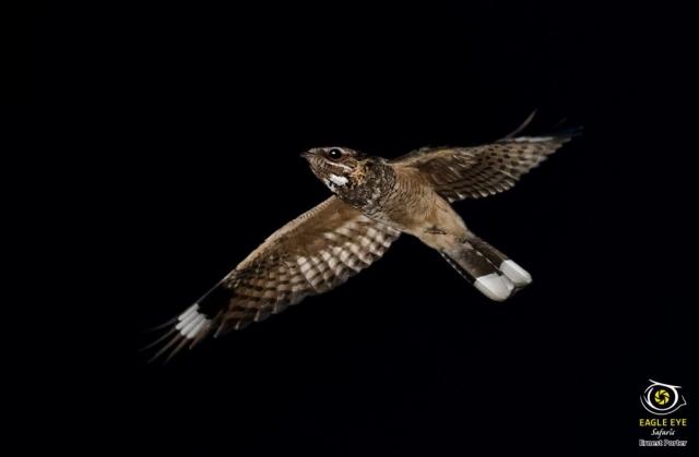 Night Flight (Rufous-cheecked Nightjar)