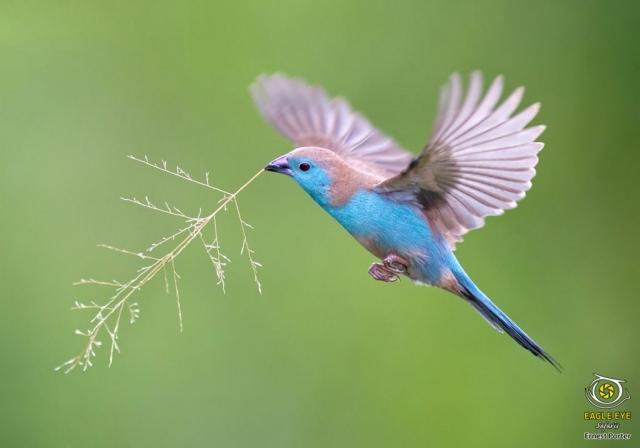 Nest Building (Blue Waxbill)